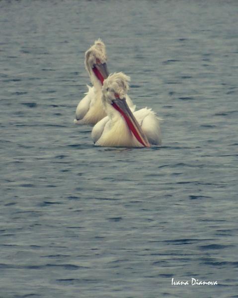 Dalmatian Pelicans (Pelecanus crispus) by idiabb
