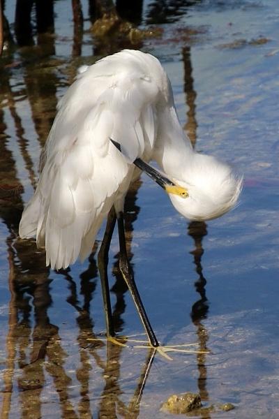 Little egret by jocas