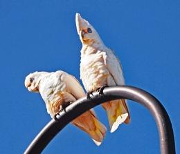A pair of Corellas