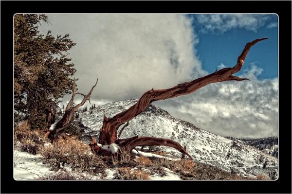 Bristlecone Pine 2 by dven