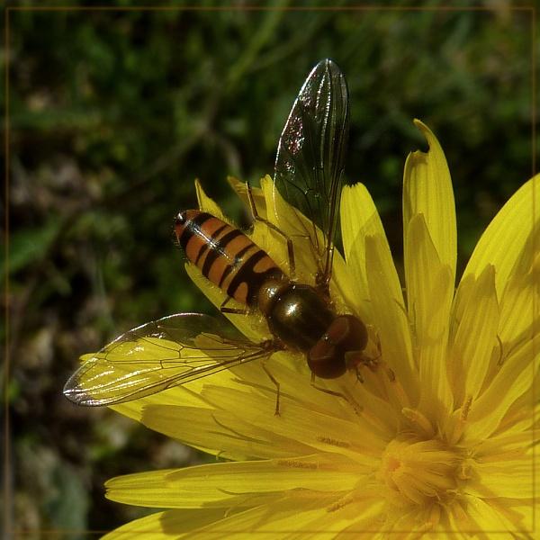 sunny hoverfly by CarolG