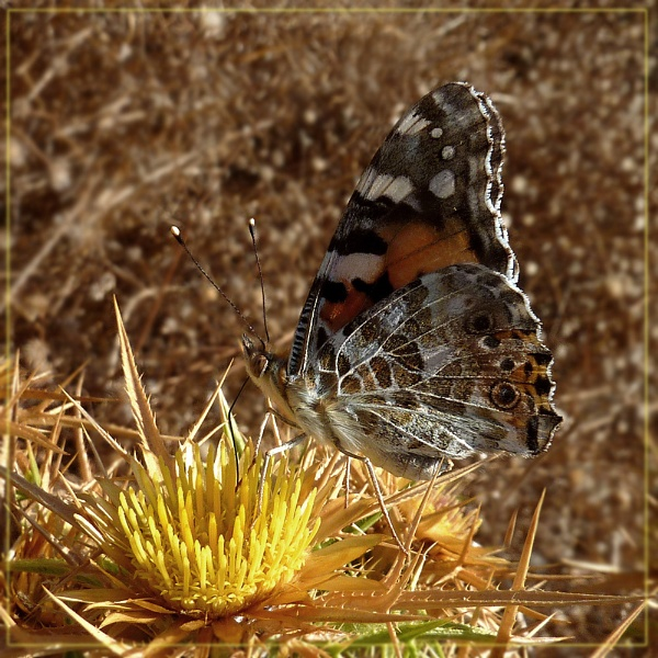 autumnal painted lady by CarolG