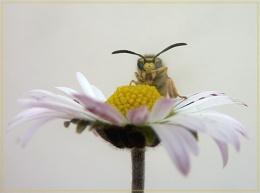 wasp on daisy
