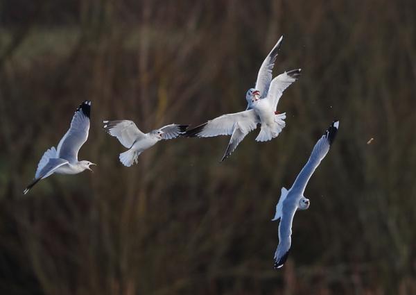 Black Headed Gull Melee by NeilSchofield