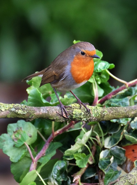 Robin by paulbroad
