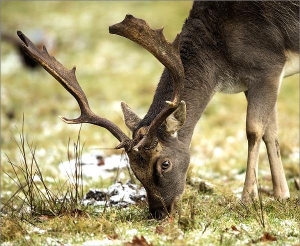 Fallow Deer Buck. by GMKhamish