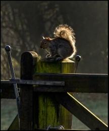 Grey Squirrel Posing
