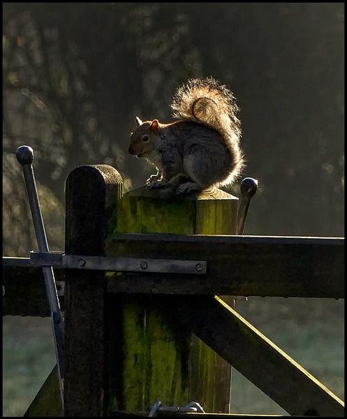 Grey Squirrel Posing by fentiger