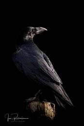 Raven in low light