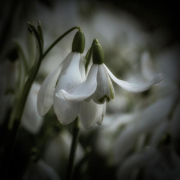 Snowdrops by Dixxipix