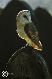 Back lit Barn Owl