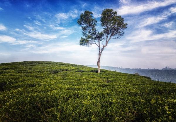 Lonely tree in Munnar Tea Garden by bobbyl