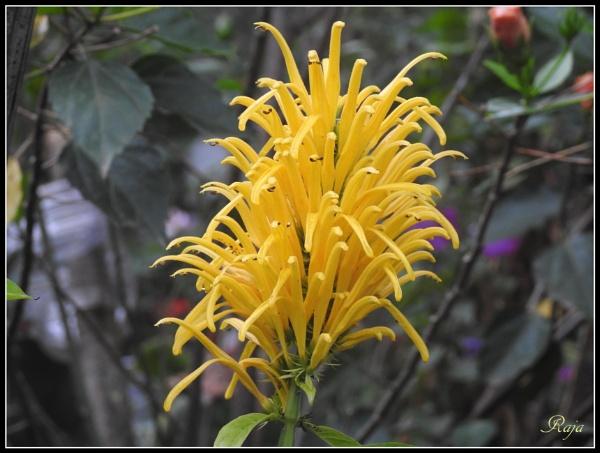 Buds and Flowers-101 by RajaSidambaram