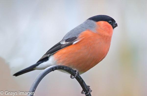 Male Bullfinch by p147180r