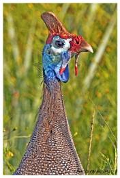 Guinee fowl portrait