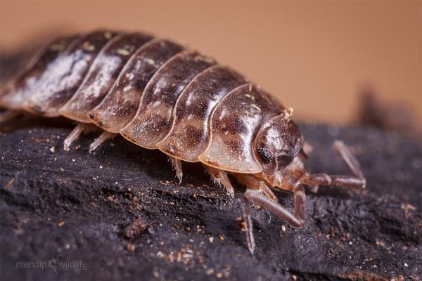 Woodlouse - Oniscus asellus by Mendipman