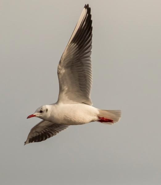 Gull in flight. by sidnox