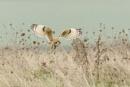 Short Eared Owl by pmeswani