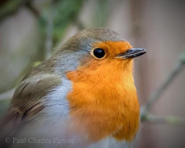 Robin Portrait by Paulspix