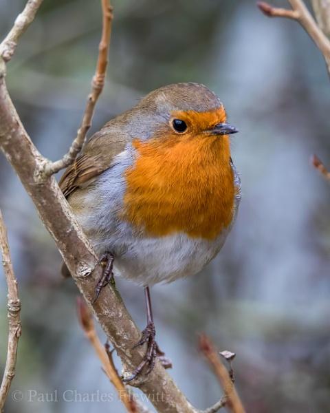 British Robin by Paulspix