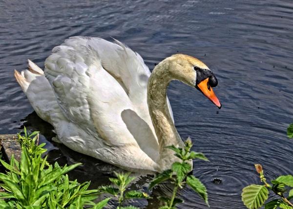 swan by pks
