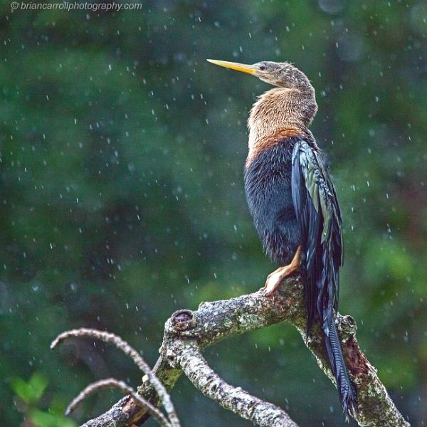 Anhinga or American Darter in the rain,  Tortuguaro, Costa Rica by brian17302