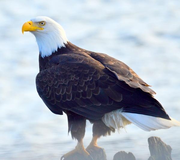 Reagle  Eagle by tonyguitar