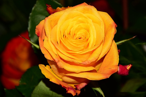 yellow rose by binder1