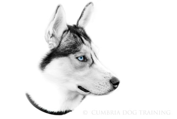 Blue Eyes by CumbriaDogTraining