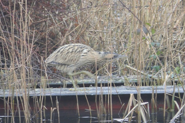 Bittern by Ted447