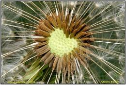 Dandelion Heart