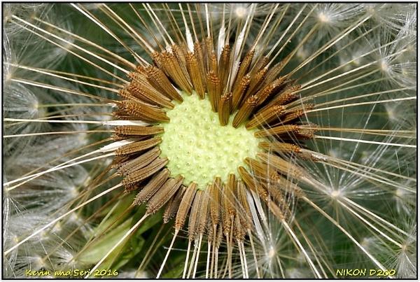 Dandelion Heart by temporalwarp