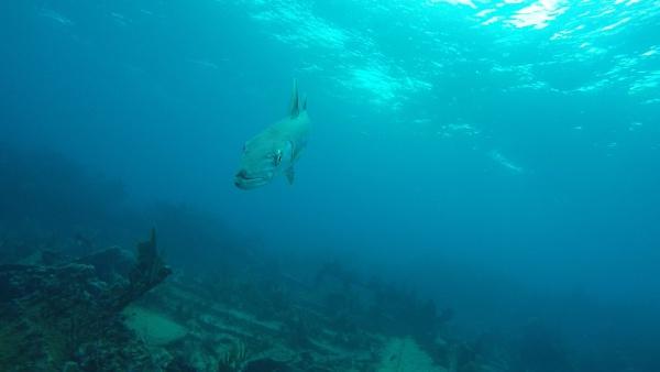 barracuda by jocas
