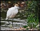 Little Egret by tedbear