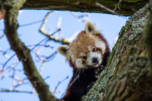 Red panda in the trees by grahammooreuk