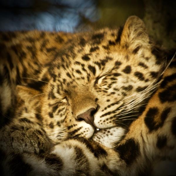 Amur Leopard, Marwell 2017 by martin174