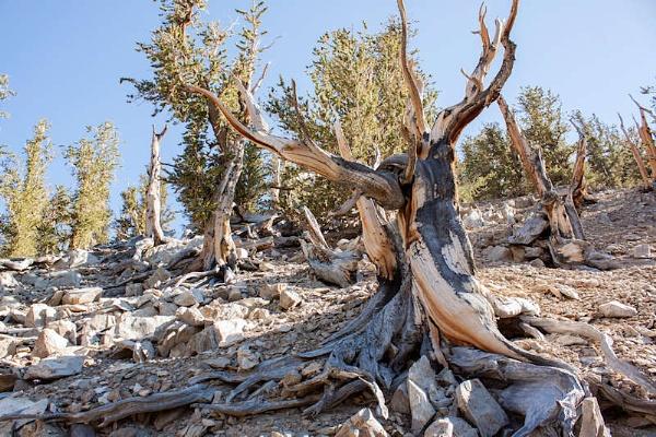 Bristlecone Pine Trees by Richard707
