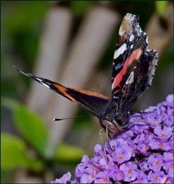Red Admiral Nectaring on a Buddleia.