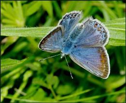 Common Blue(f) Basking.