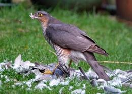 Sparrow Hawk eating Kill.
