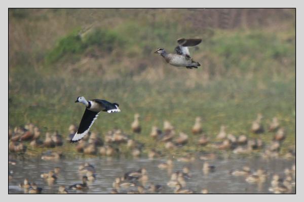 Cotton Pygmy-goose by prabhusinha