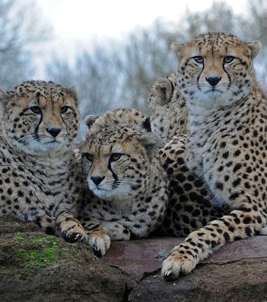 Cheetah Cubs by peterthowe