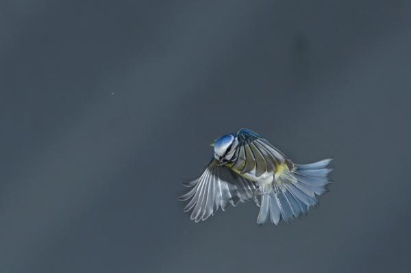 blue flies by maratsuikka