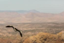Snow Goose in flight.