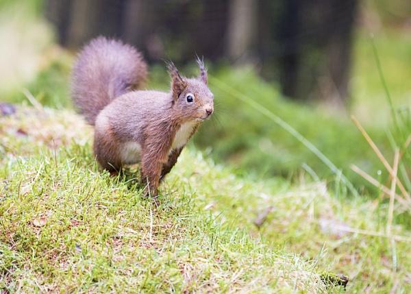 Red Squirrel by matrix45