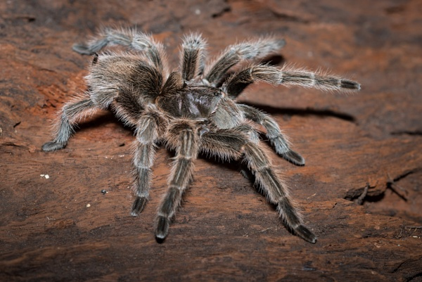 Chilean Rose Tarantula by jasonrwl