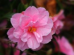 Backlit camellia