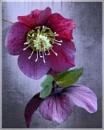 Plum Velvet by sweetpea62