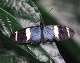 A Black & Blue Longwing