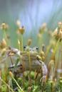 grren frog by ruurd